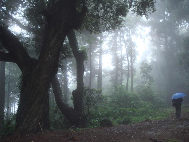 スダジイ巨木